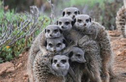 Five Shy Meerkats
