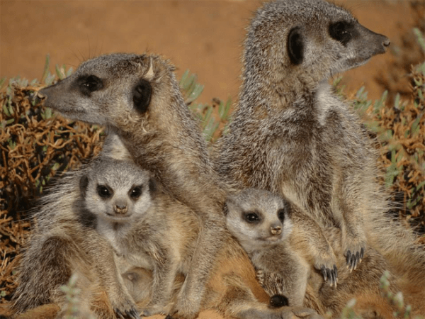 Meerkats at Five Shy Meerkats