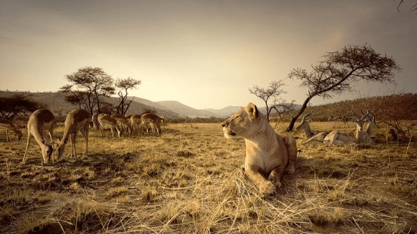Lions with Key Shuttles & Tours