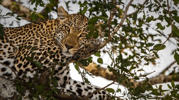 Leopard with Key Shuttles & Tours