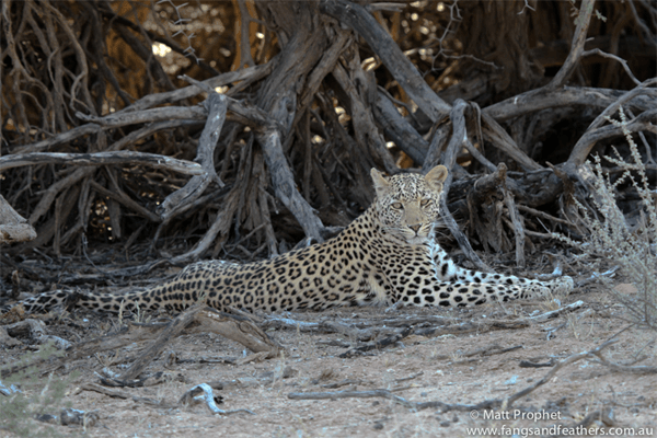 Leopard with with Fangs and Feathers
