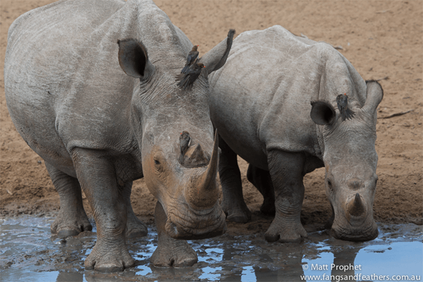 Rhinos with Fangs and Feathers