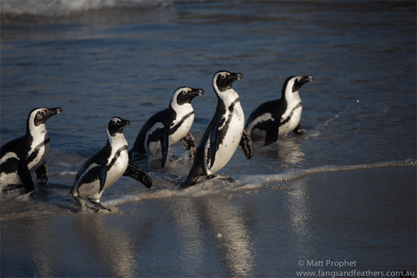 Penguins with Fangs and Feathers